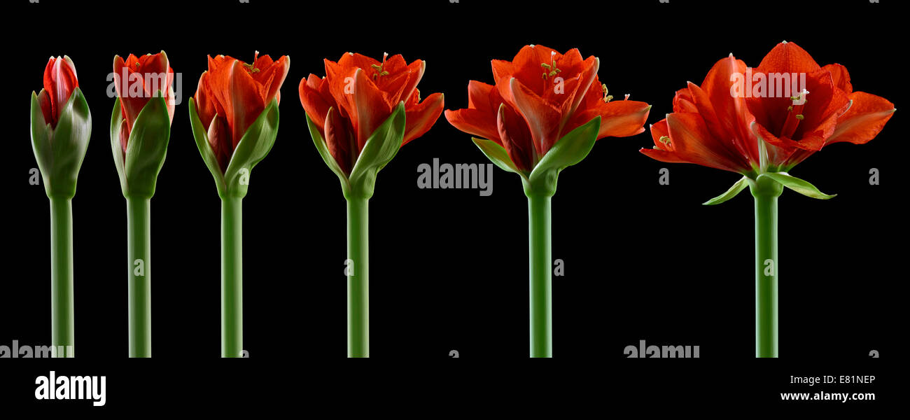 Amaryllis, flowers in different stages of growth, from the bud opening to flowering - Stock Image