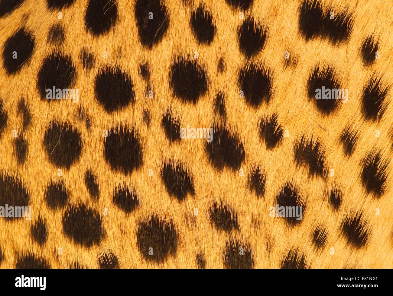 Cheetah Fur Close Up Animal Fur Pattern Sto...