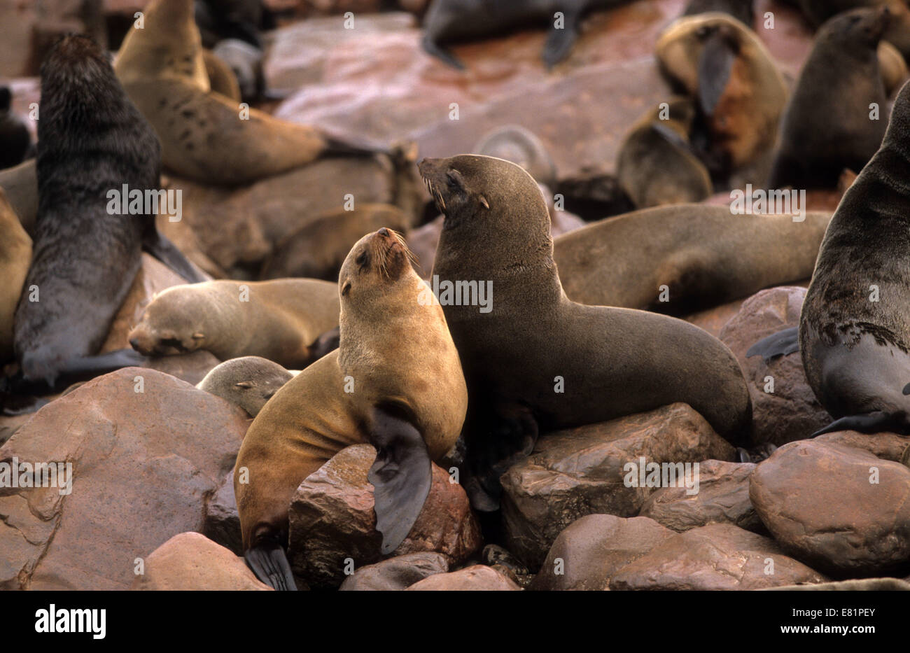 Cape fur seal (Arctocephalus pusillus). The female (cow) is smaller and lighter coloured than the male (bull). The - Stock Image