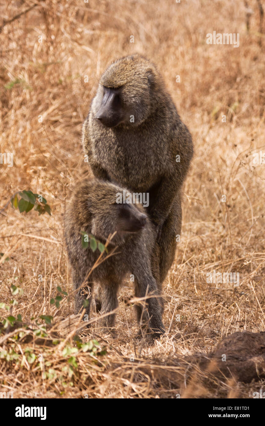 a couple of Olive baboon (Papio anubis) mating. Photographed in Kenya - Stock Image