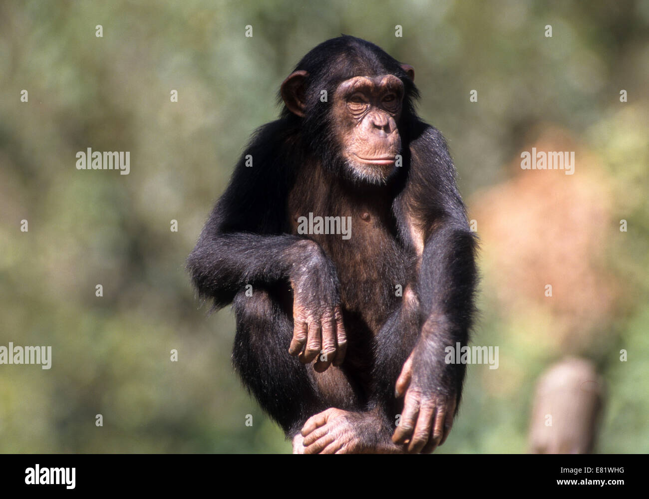 closeup portrait of a Chimpanzee (Pan troglodytes) in captivity in a zoo - Stock Image
