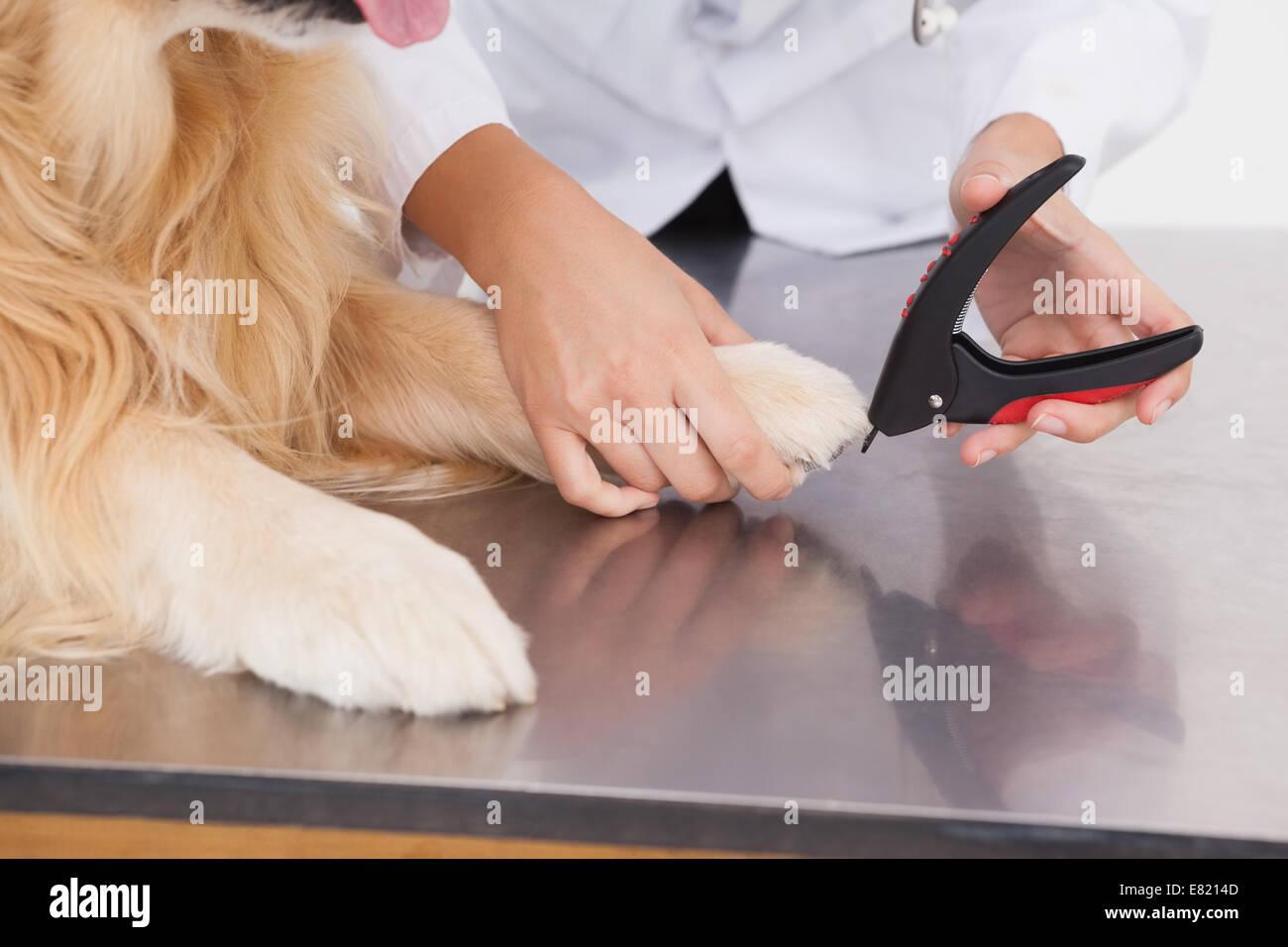 Vet clipping a labradors nails - Stock Image