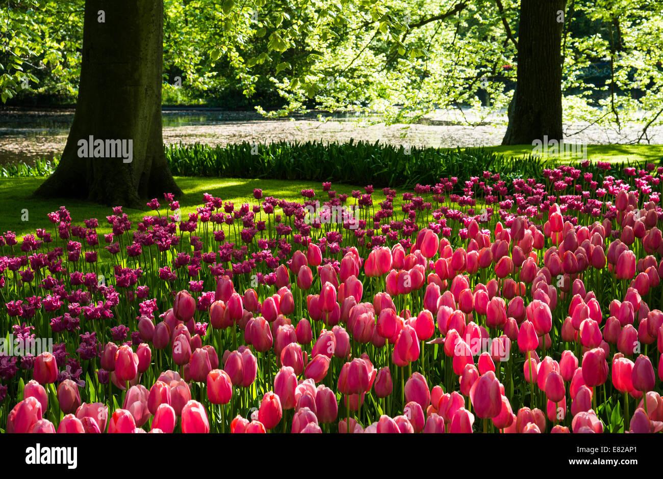 Tulips at Keukenhof Gardens, Duin- en Bollenstreek, the Netherlands - Stock Image