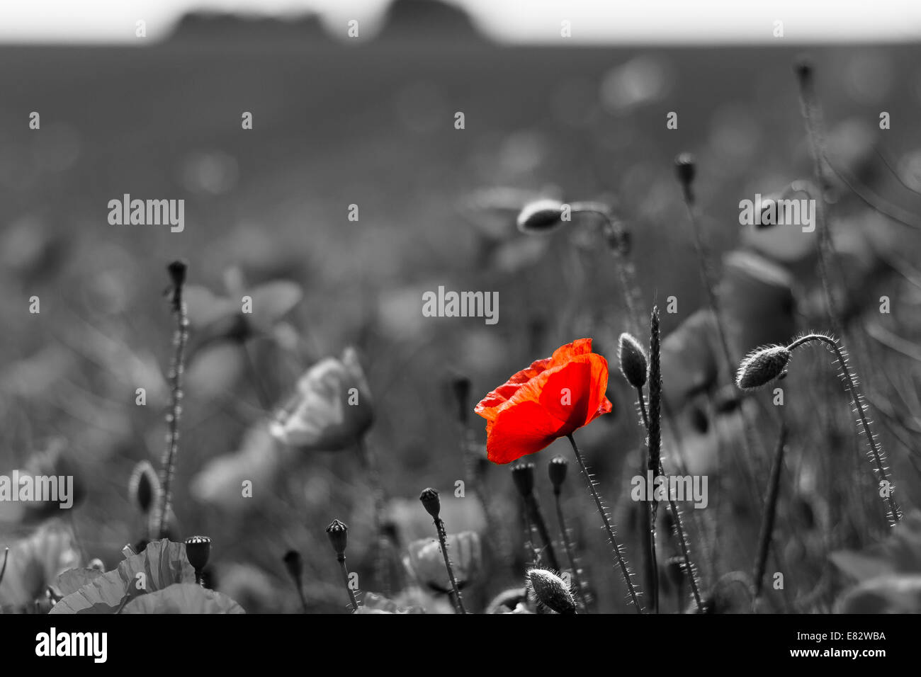 A poppy field with a single red poppy in colour on a black and white background