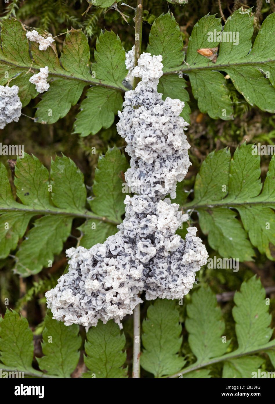 The Dog Sick Slime mold - Stock Image