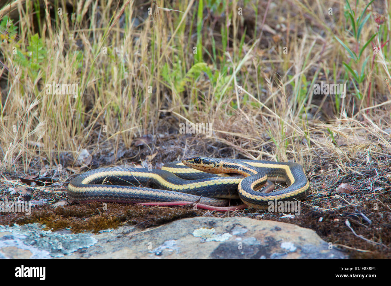 An Alameda Striped Racer (Coluber lateralis euryxanthus), a California subspecies threatened due to habitat loss. - Stock Image