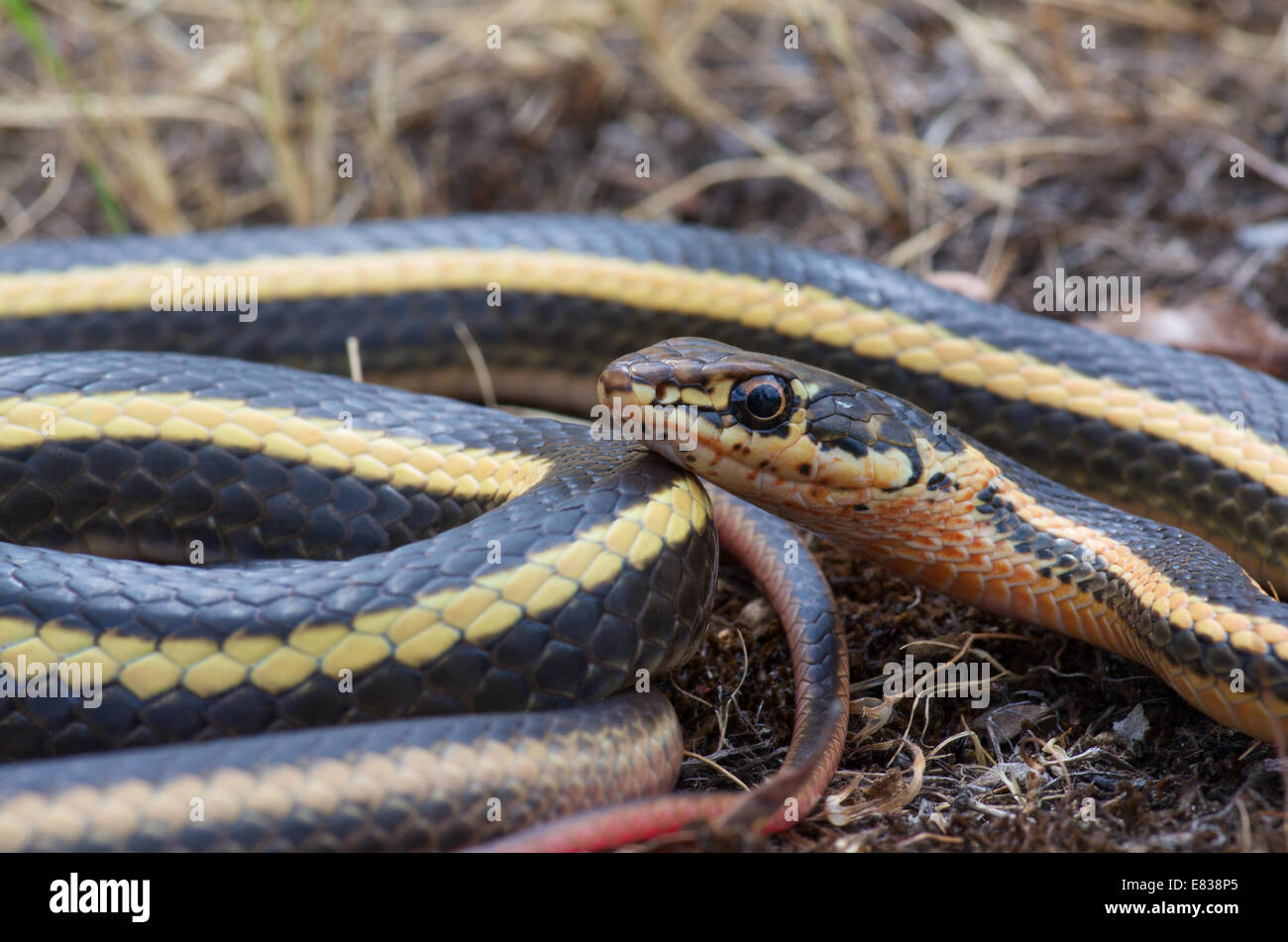 Close-up of an Alameda Striped Racer (Coluber lateralis euryxanthus), a California subspecies threatened due to - Stock Image
