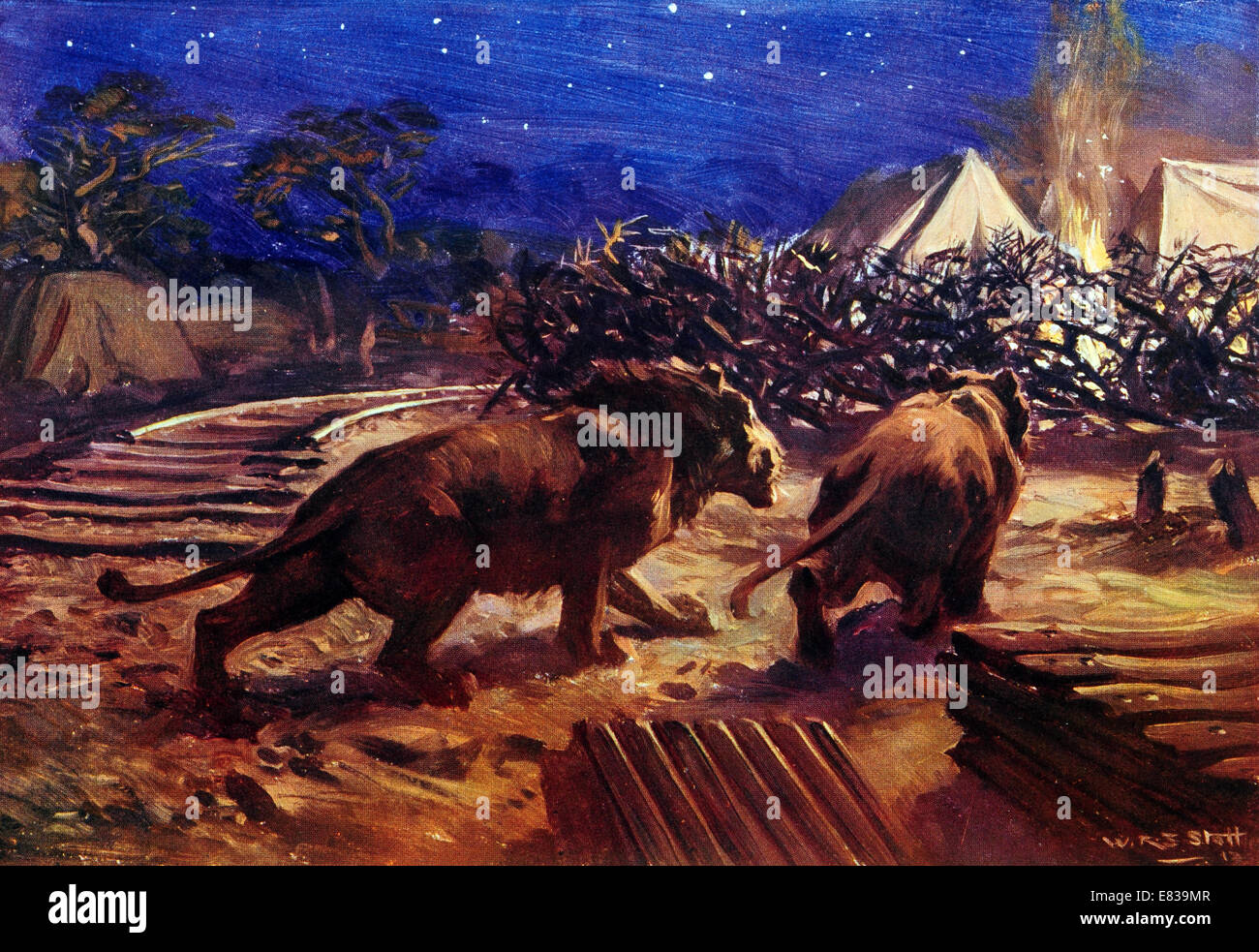 The foe of the Railway builder in Uganda Central Africa. Lion attacks at one time stopped work circa 1910 Stock Photo