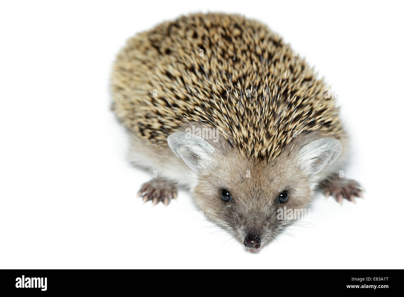 Hemiechinus auritus, Long-eared hedgehog in front of white background, isolated Stock Photo
