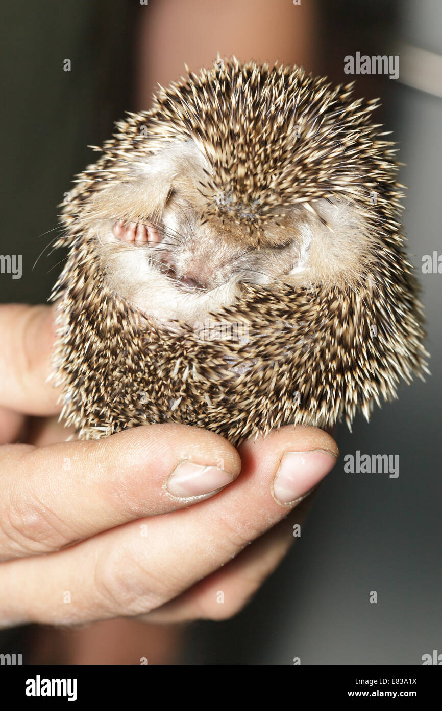 Hemiechinus auritus, Long-eared hedgehog like a pet. - Stock Image