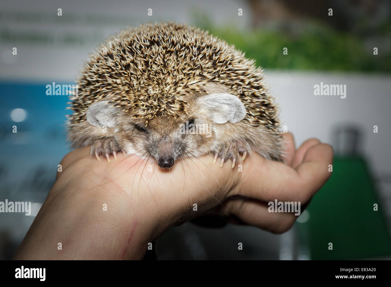 Hemiechinus auritus, Long-eared hedgehog like a pet. - Stock Image