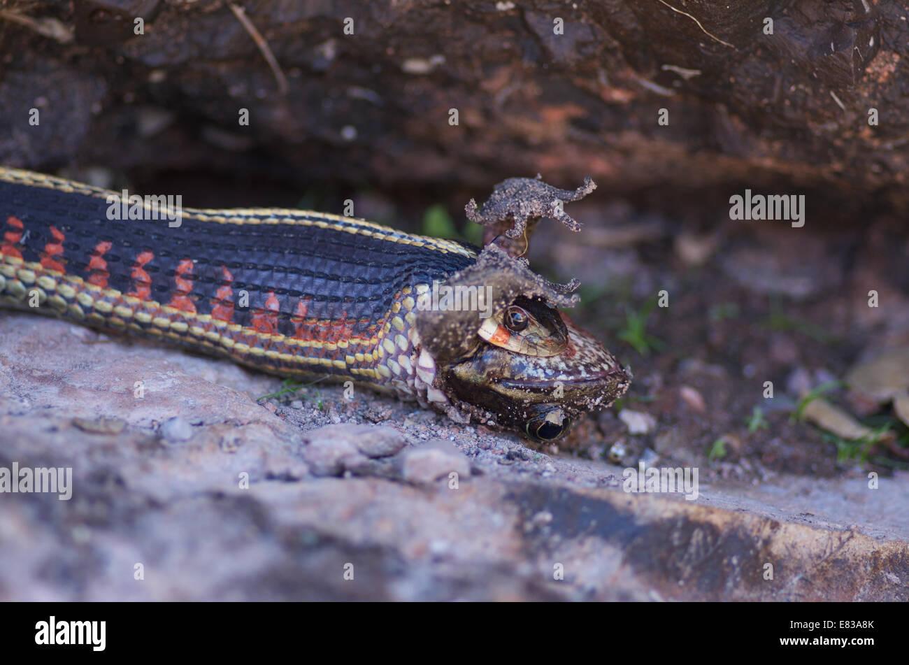 A Valley Gartersnake swallowing a California Red-legged Frog at Pinnacles National Park, San Benito County, California. - Stock Image