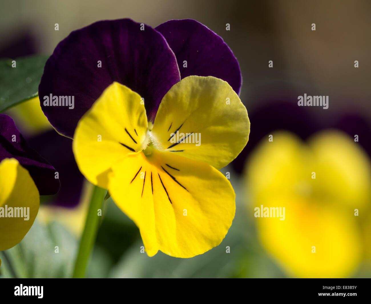Macro of yellow and purple winter viola - Stock Image