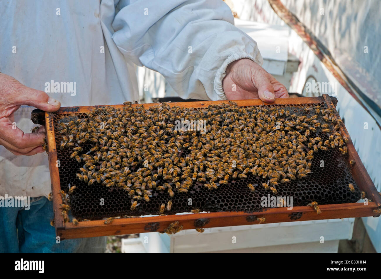 Inside a bee hive - Stock Image