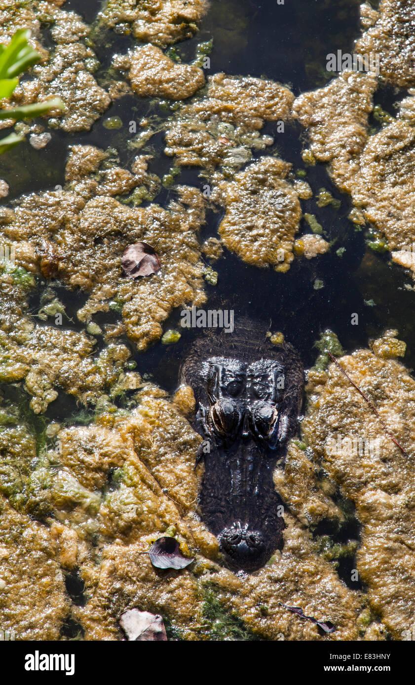Alligator at Overlook at Blue Hole pond on Big Pine Key in the Florida Keys - Stock Image