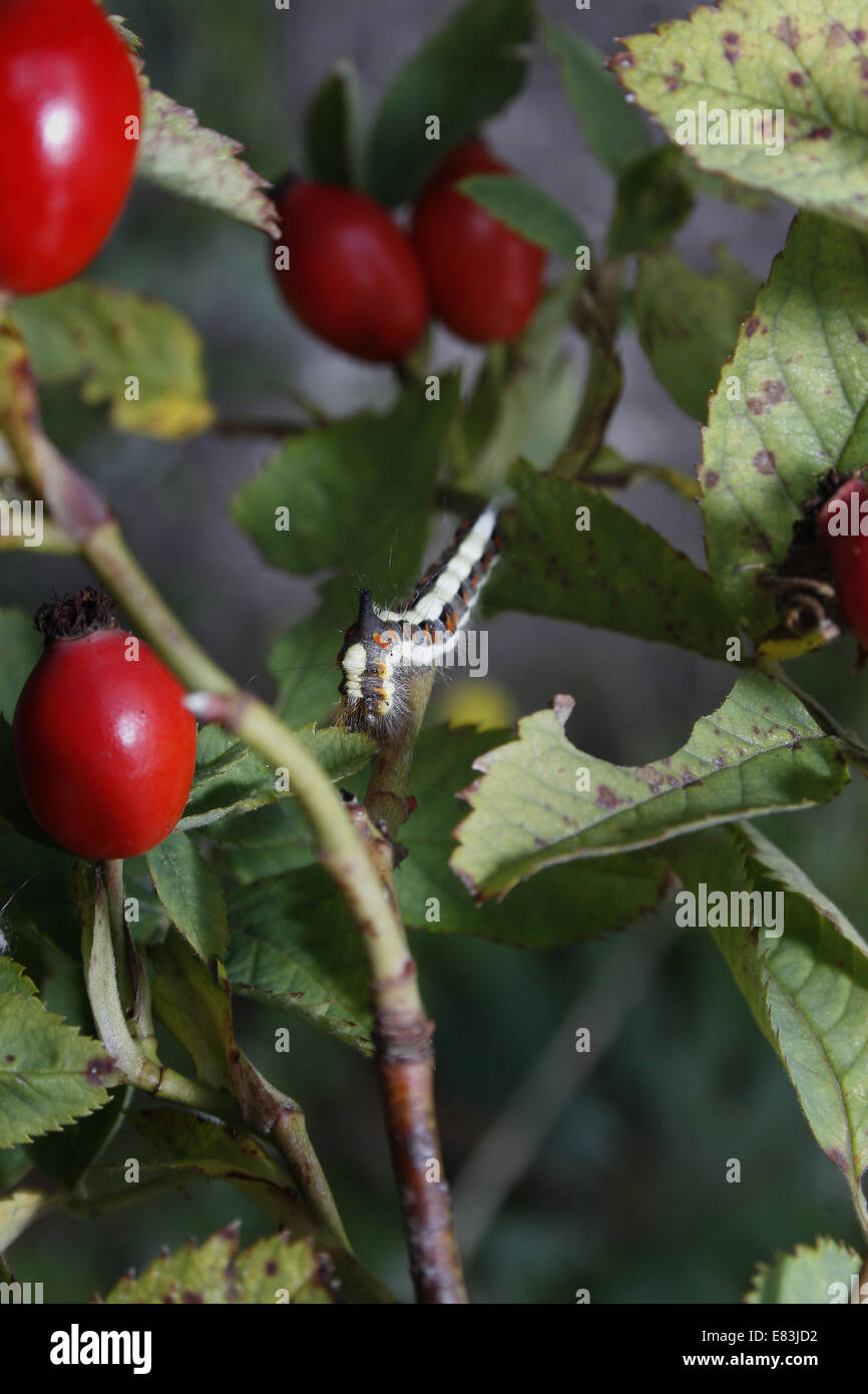 Grey Dagger caterpillar eating leaves on rose hip bush Acronicta psi - Stock Image