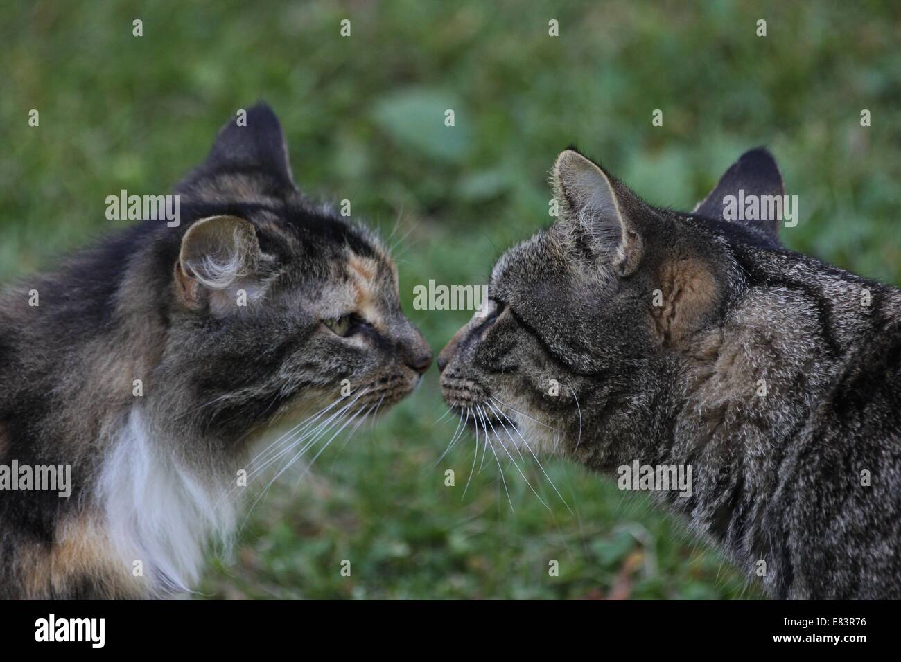 Two cats touching noses. - Stock Image
