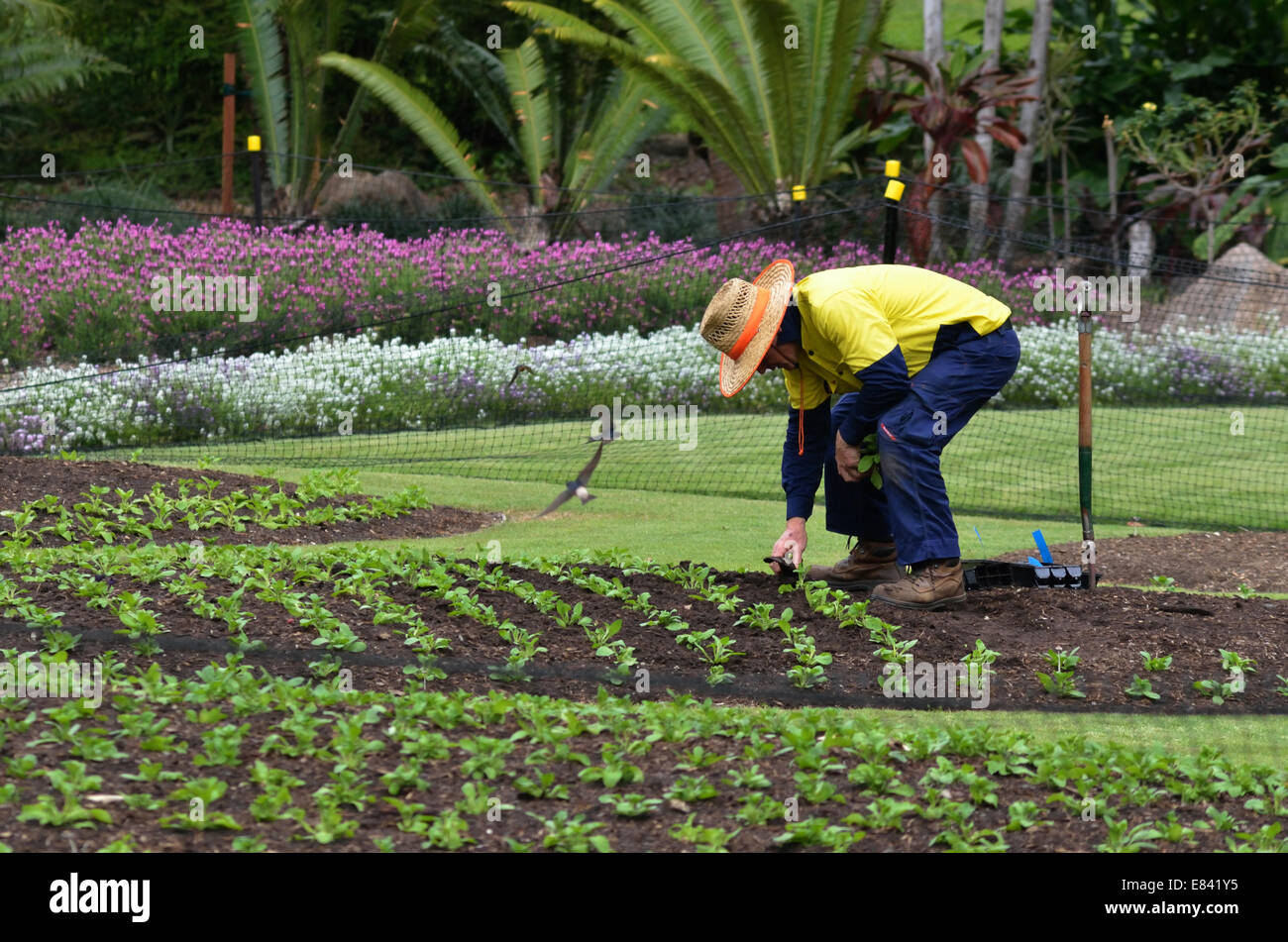 BRISBANE, AUS - SEP 24 2014: A Gardener planting plants at Brisbane City Botanic Gardens - Stock Image