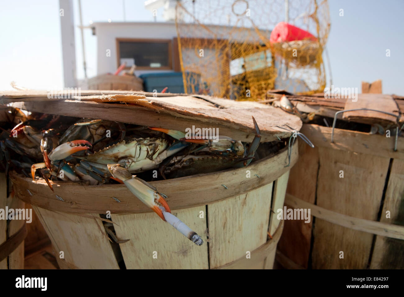 Crab peering from crab bushel on fishing boat holding cigarette in pincer, Chesapeake Bay, Maryland, USA - Stock Image