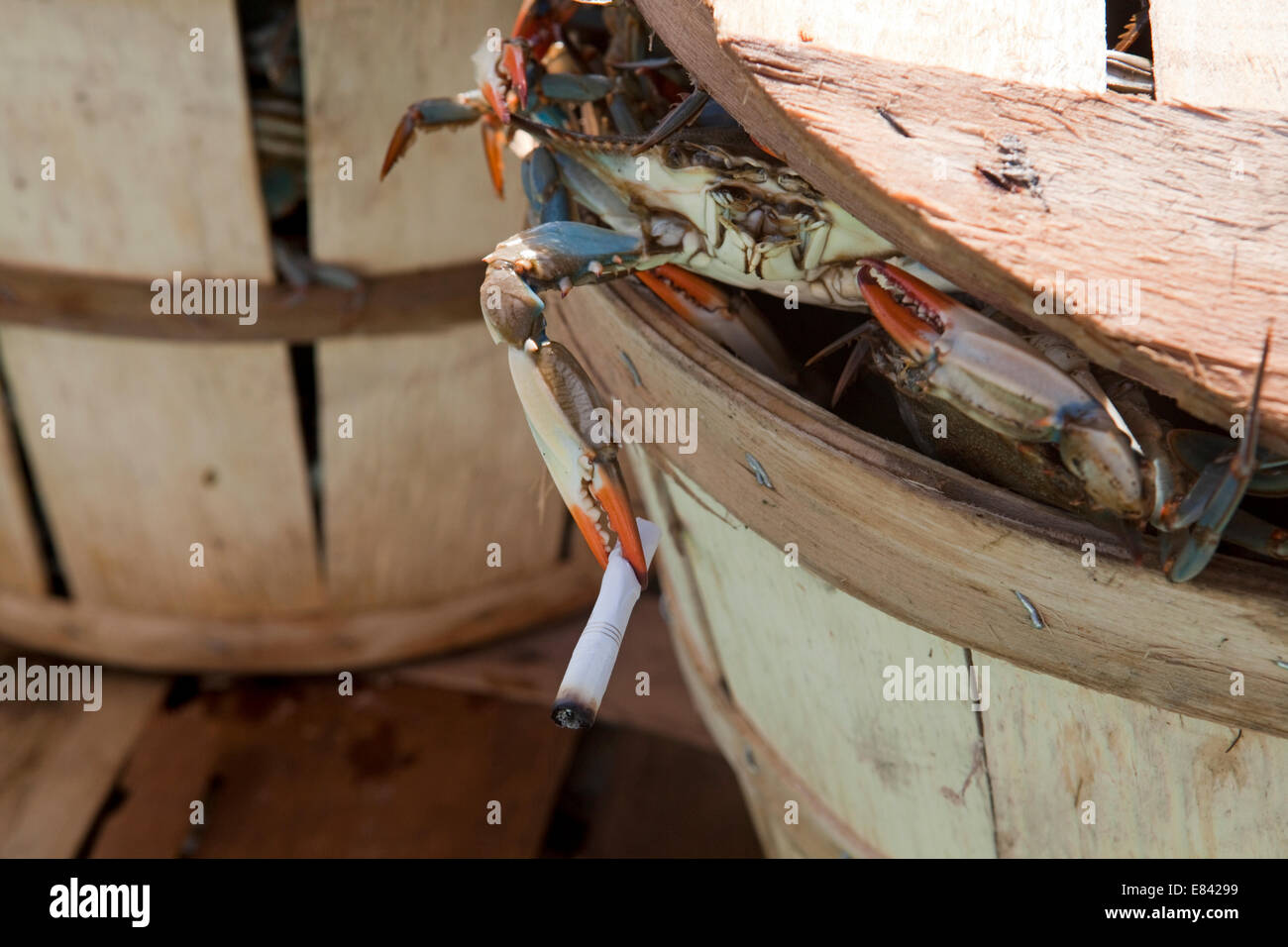 Crab peering from crab bushel holding cigarette in pincer, close up, Chesapeake Bay, Maryland, USA - Stock Image