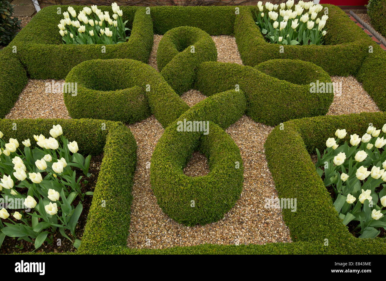 Knot garden with box hedges and white tulips in a private garden in