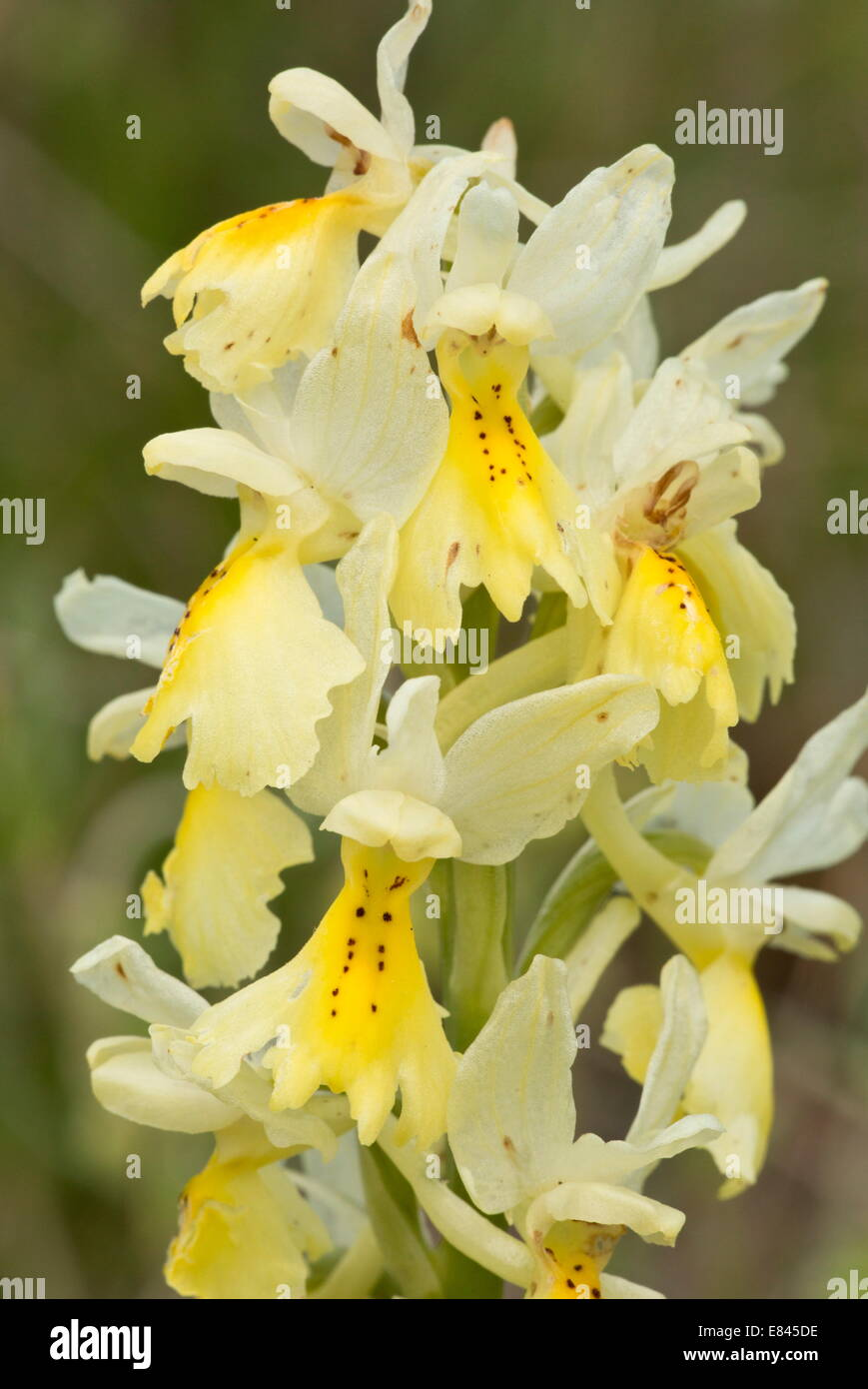 Few-flowered Orchid, Orchis pauciflora, in flower in spring.  Italy. - Stock Image