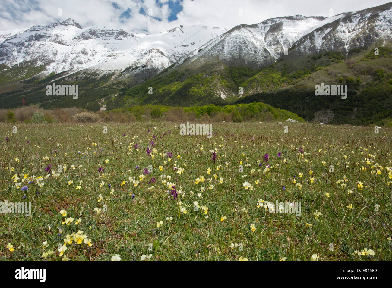 Masses of spring flowers, including Viola eugeniae, in Gran Sasso d'Italia, looking up towards the Monte della - Stock Image