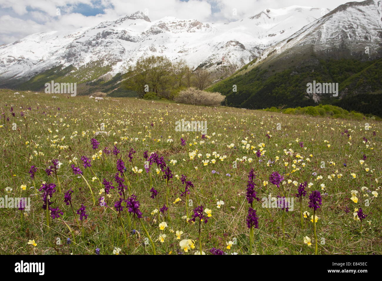 Masses of spring flowers, including Green-winged Orchids and Viola eugeniae, in Gran Sasso d'Italia, Apennines - Stock Image