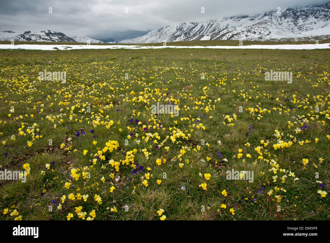 Masses of an endemic yellow pansy, Viola eugeniae ssp. eugeniae and other flowers on the Campo Imperatore, in Gran - Stock Image