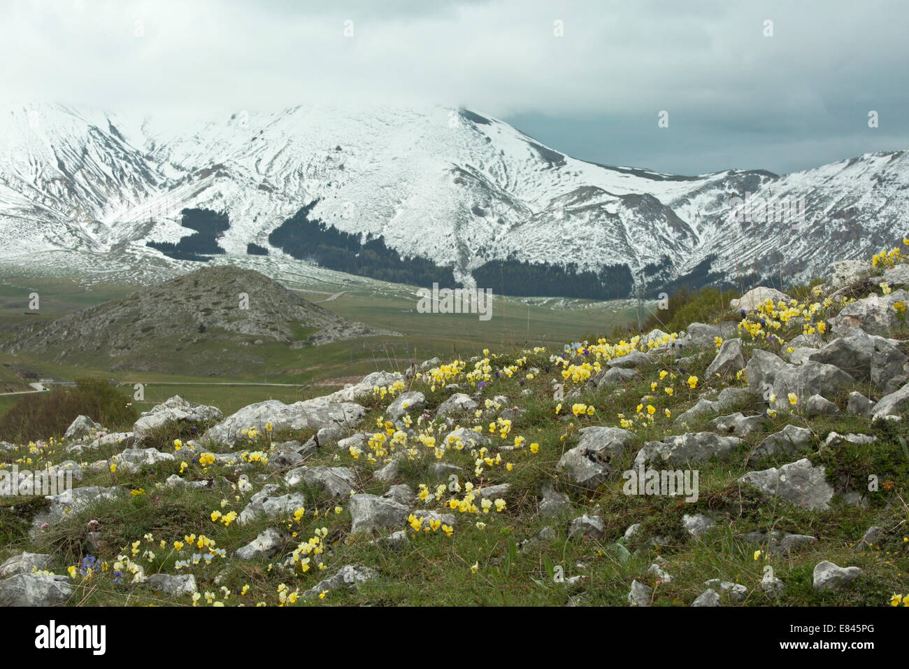 Masses of a yellow pansy, Viola eugeniae ssp. eugeniae, and other flowers on ridge by the Campo Imperatore, in Gran - Stock Image