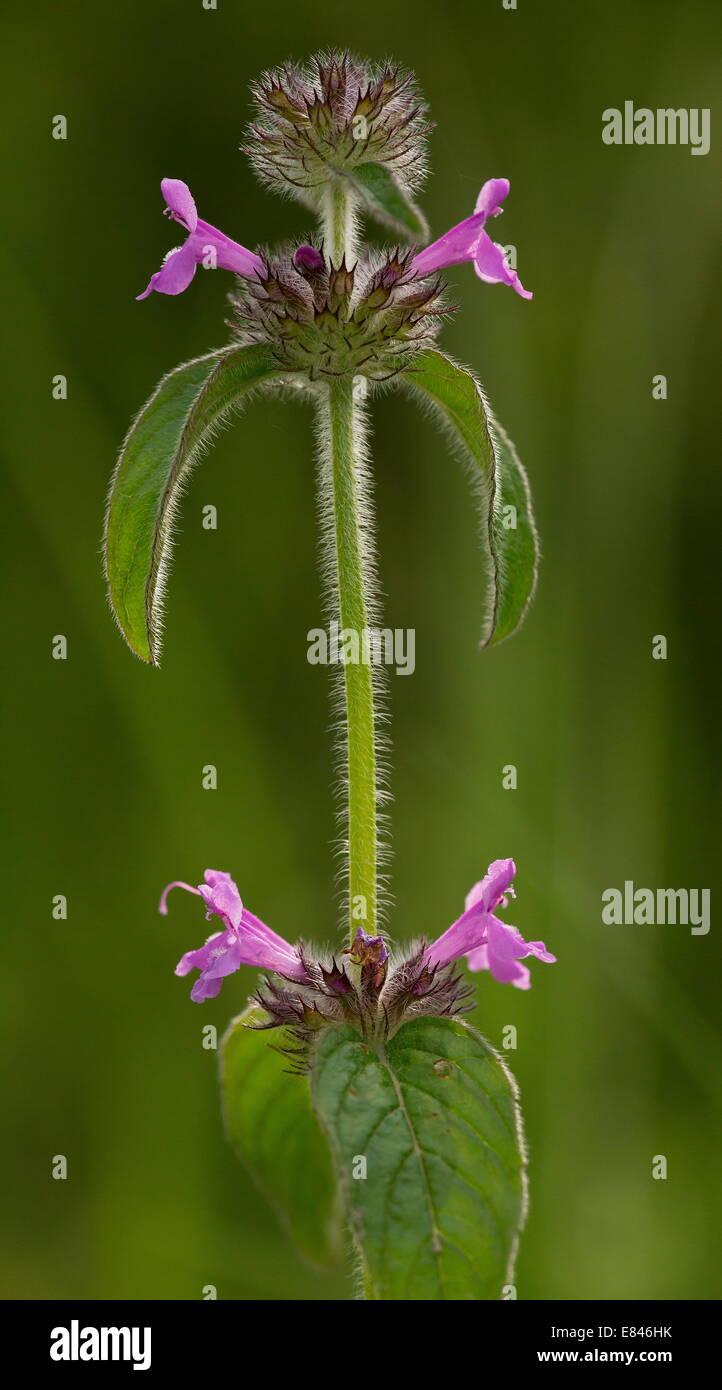 Wild Basil, Clinopodium vulgare in flower on chalk downland. Stock Photo