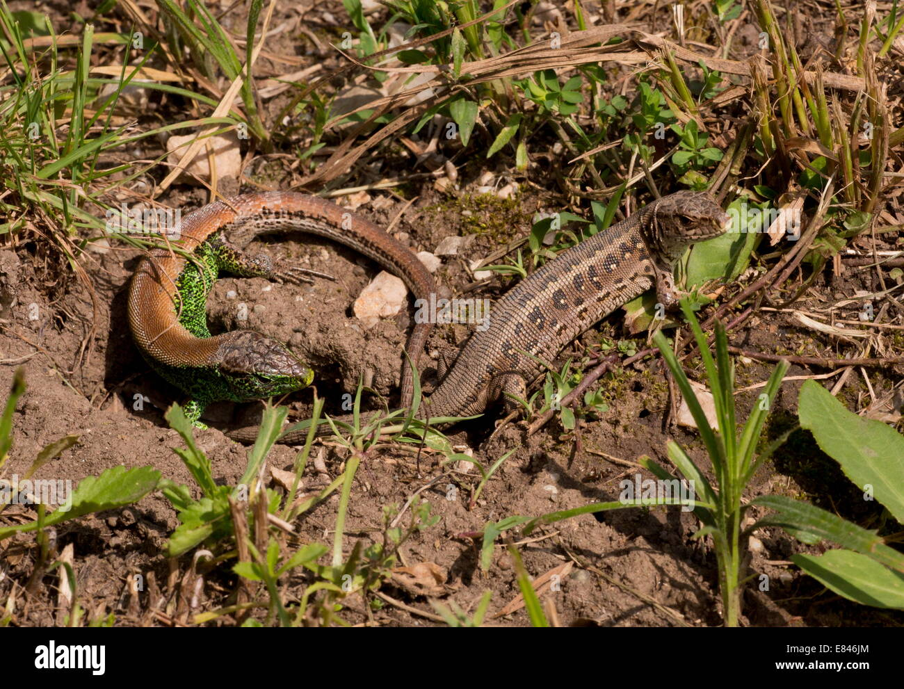 Sand lizards, Lacerta agilis, male and female courting, in breeding season. - Stock Image