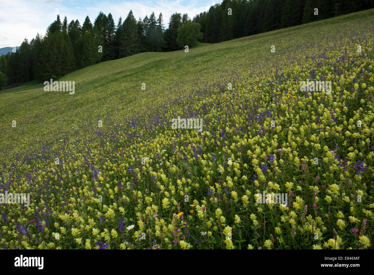 Beautiful flowery hay meadow, with Sainfoin, clary etc above Cortina d'Ampezzo, Dolomites, Italy - Stock Image