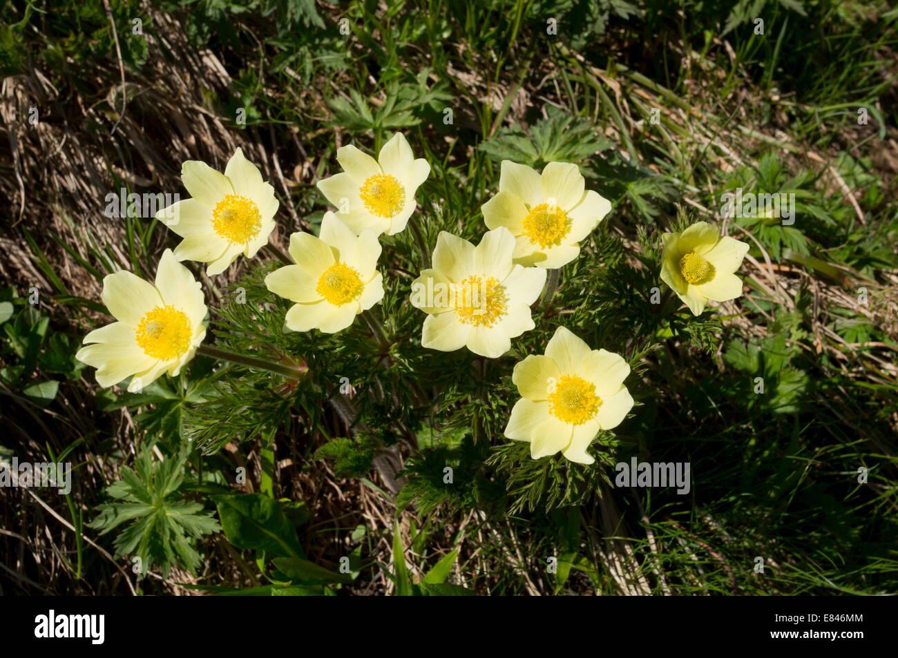 Alpine Pasque Flower, Pulsatilla alpina ssp. apiifolia in its yellow ...