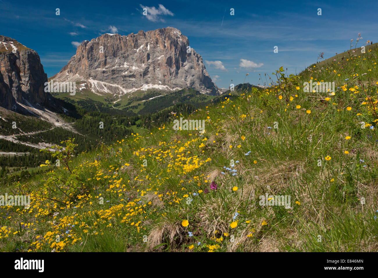 Alpine flowers at 2200m on the Gardena Pass, Dolomites, Italy - Stock Image