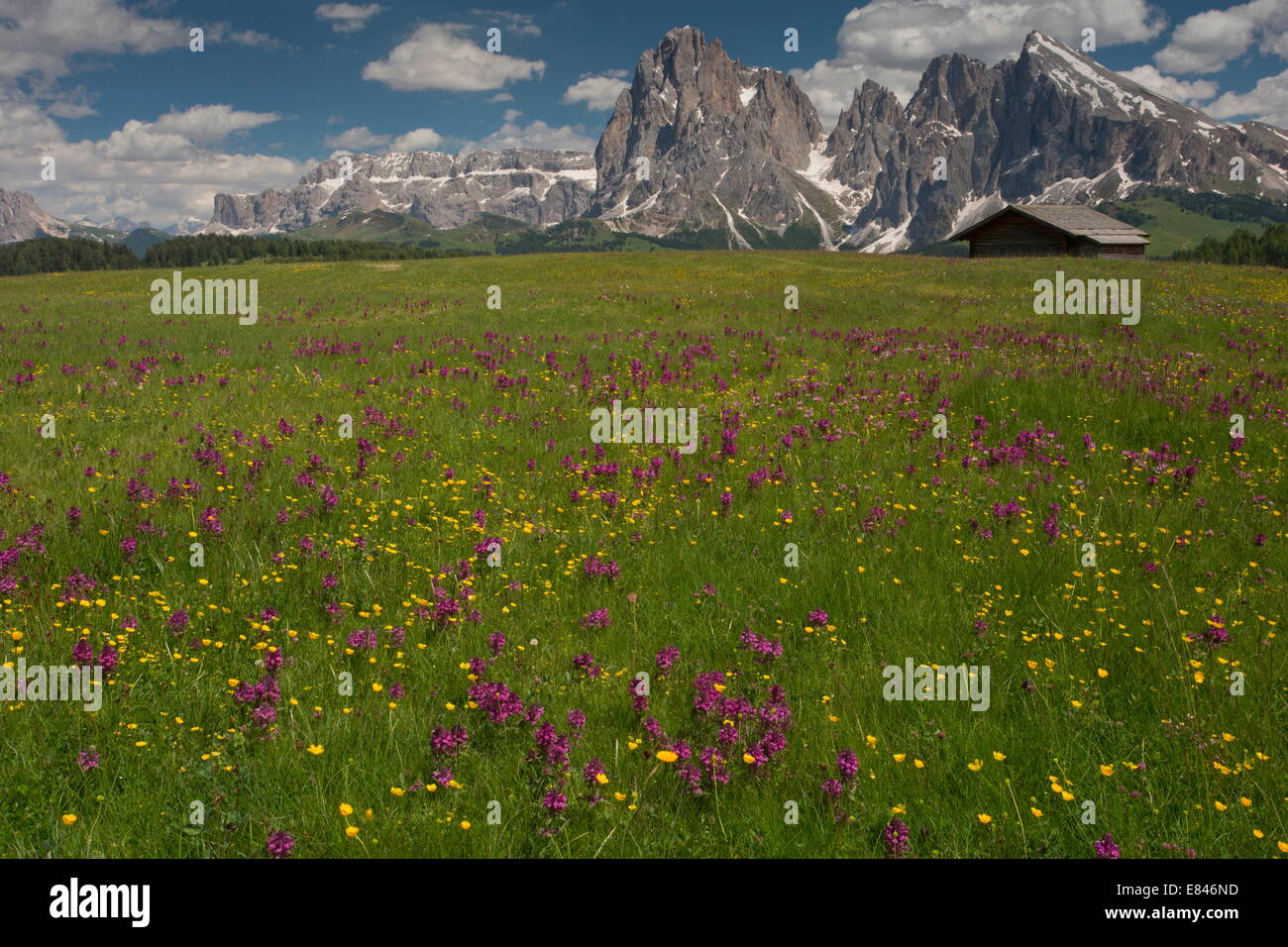 Spectacular flowery grasslands on the Seiser Alm / Alpe di Suisi, with Whorled Lousewort,  looking towards Sasso - Stock Image