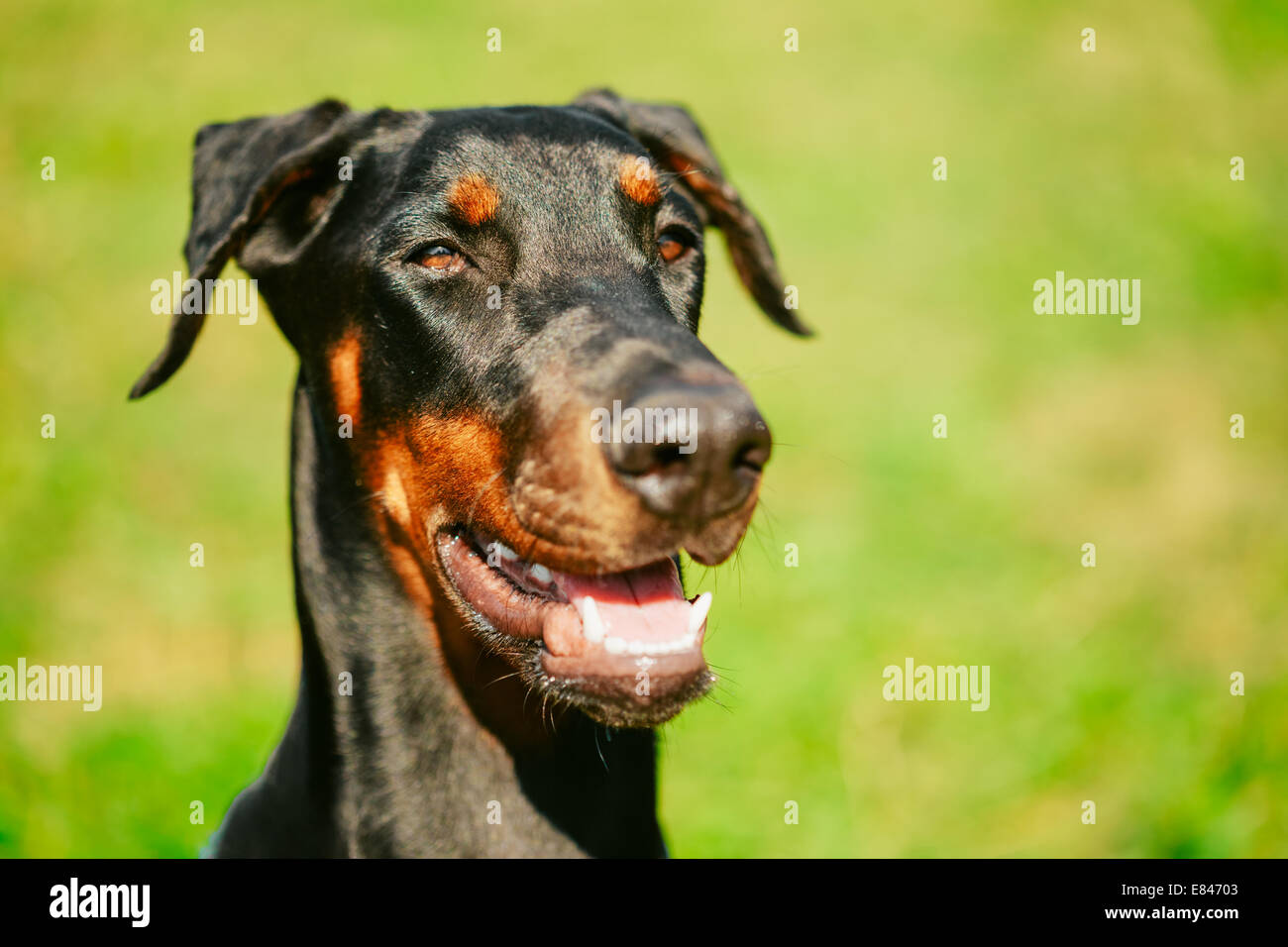 Young, Beautiful, Black And Tan Doberman Standing On The Lawn. Dobermann Is A Breed Known For Being Intelligent, - Stock Image