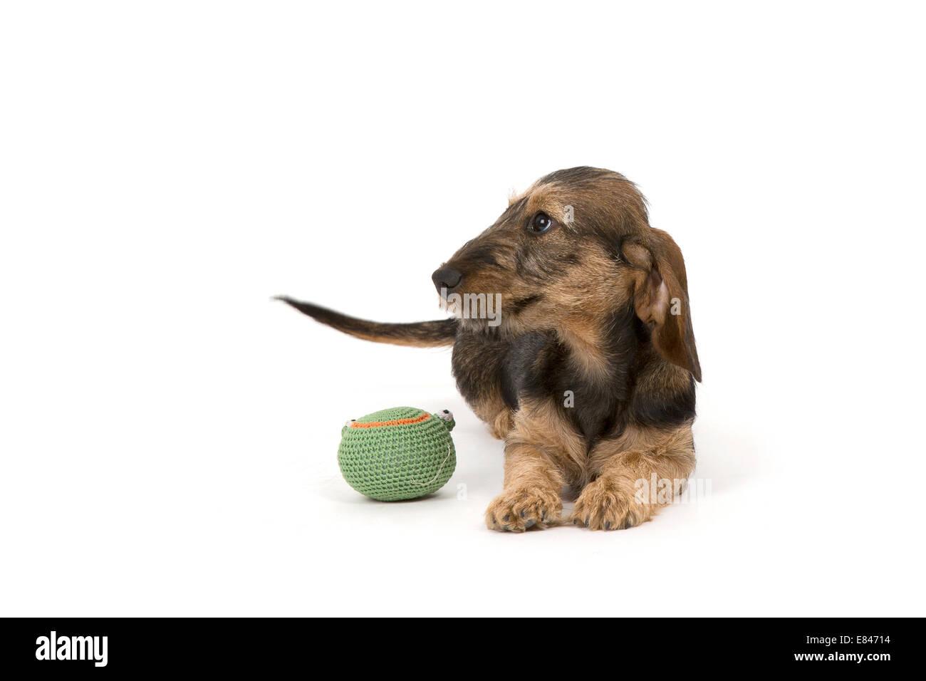 Weenie Dog Stock Photos & Weenie Dog Stock Images - Alamy