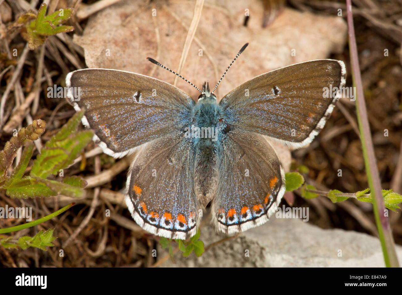 Female Adonis Blue, Lysandra bellargus (Polyommatus) basking. First generation, may. - Stock Image