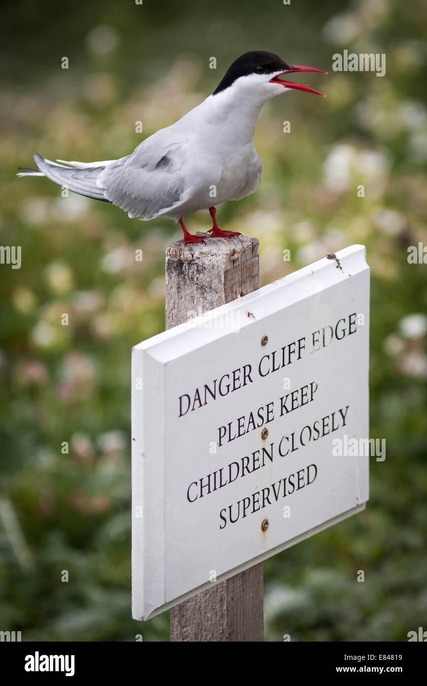 Arctic Tern on warning sign on the Farne Island in Great Britain, Europe. - Stock Image
