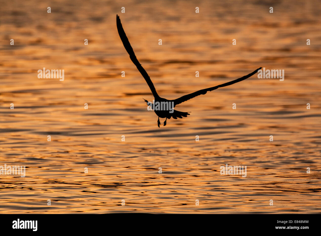 Silhouette of a flying gull over water colored by the glow of a sunset. Stock Photo