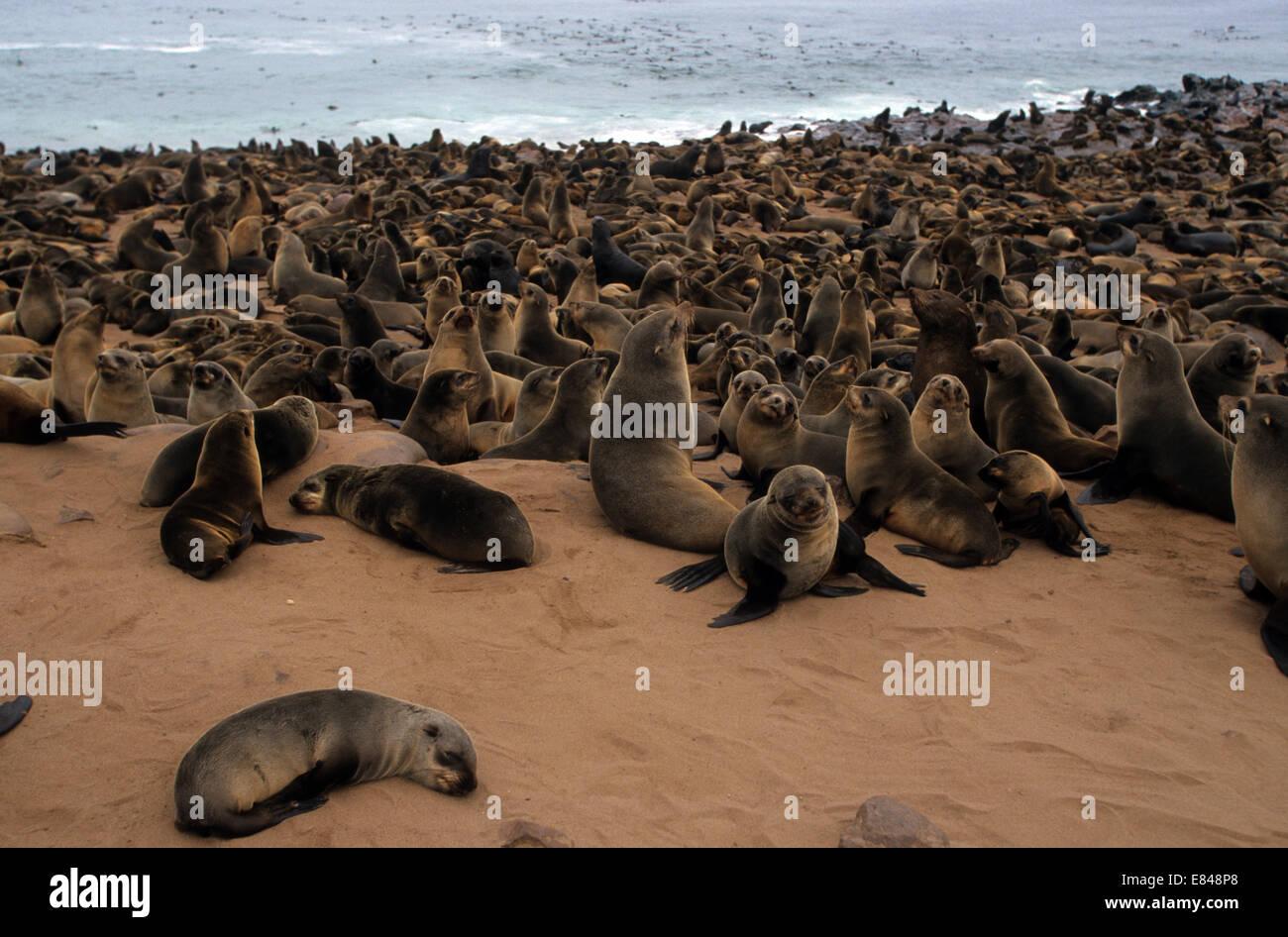 Cape Cross seal colony. The Cape fur seal (Arctocephalus pusillus pusillus) is the largest species of fur seal in - Stock Image
