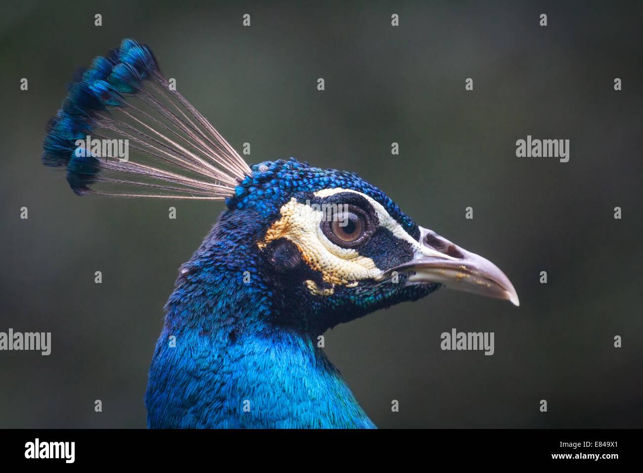 Portrait of a male Peafowl - Stock Image