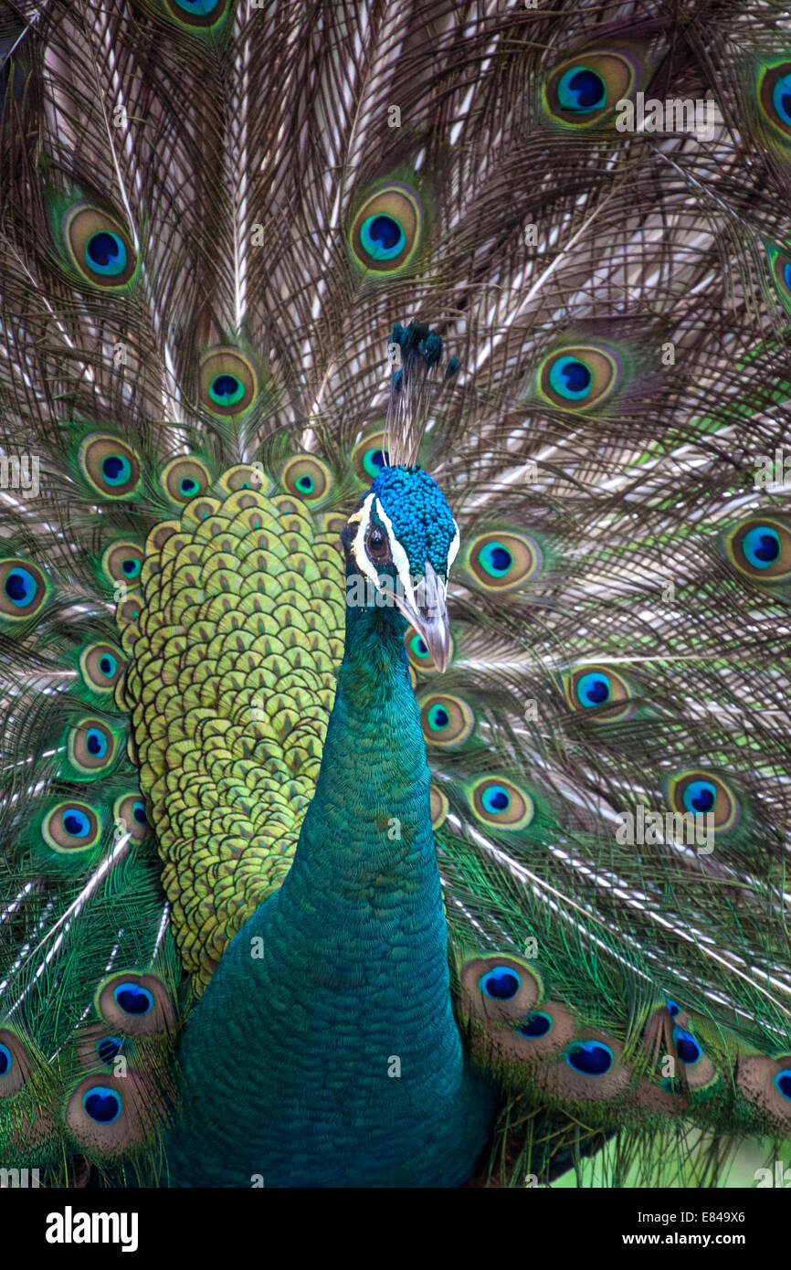 Beautiful Male Peafowl displaying its feathers in India - Stock Image