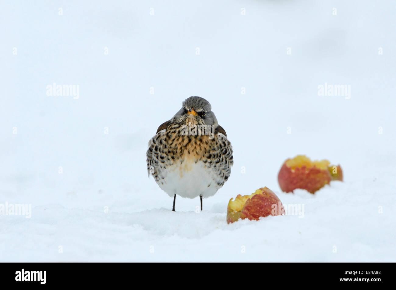 Fieldfare  Turdus pilaris feeding on apples in snow Norfolk - Stock Image