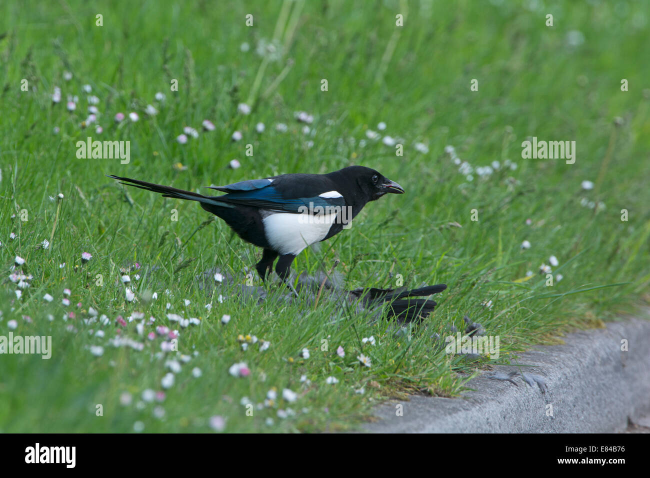 Magpie Pica pica feeding on male Blackbird it has just caught and killed Kelling Norfolk - Stock Image