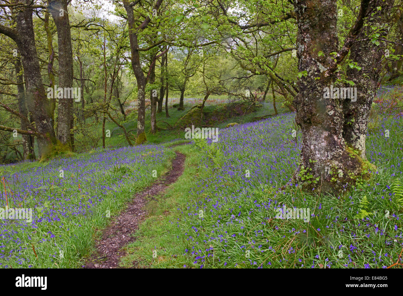 Inversnaid RSPB Reserve on shores of Loch Lomond Scotland in May - Stock Image