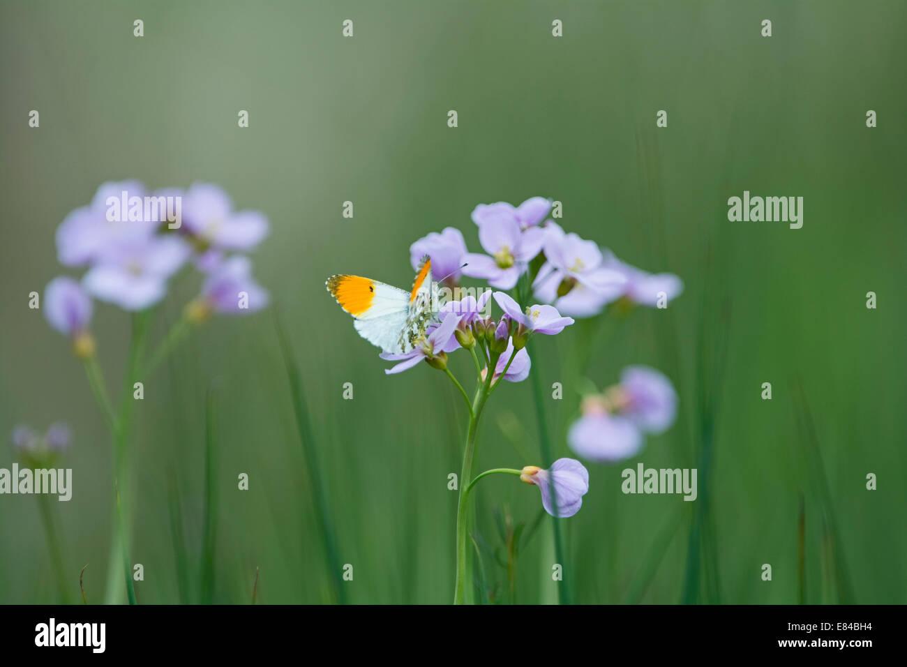 Orange-tip Butterfly Anthocharis cardamines on Cuckoo flower Cley Norfolk Stock Photo