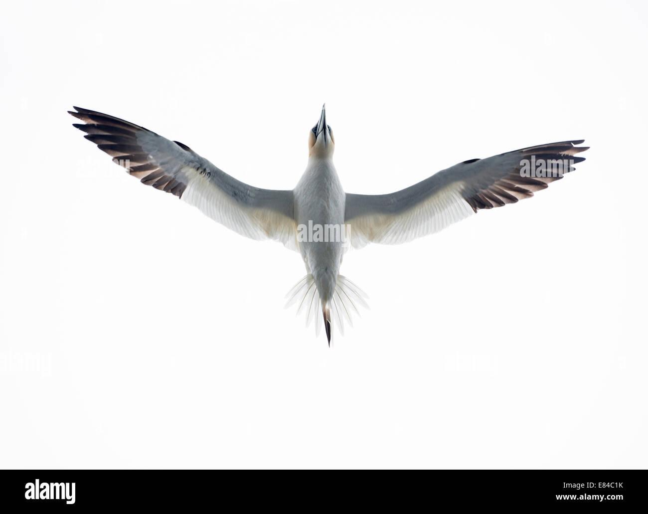 Gannet Morus bassanus  Noss Shetland - Stock Image