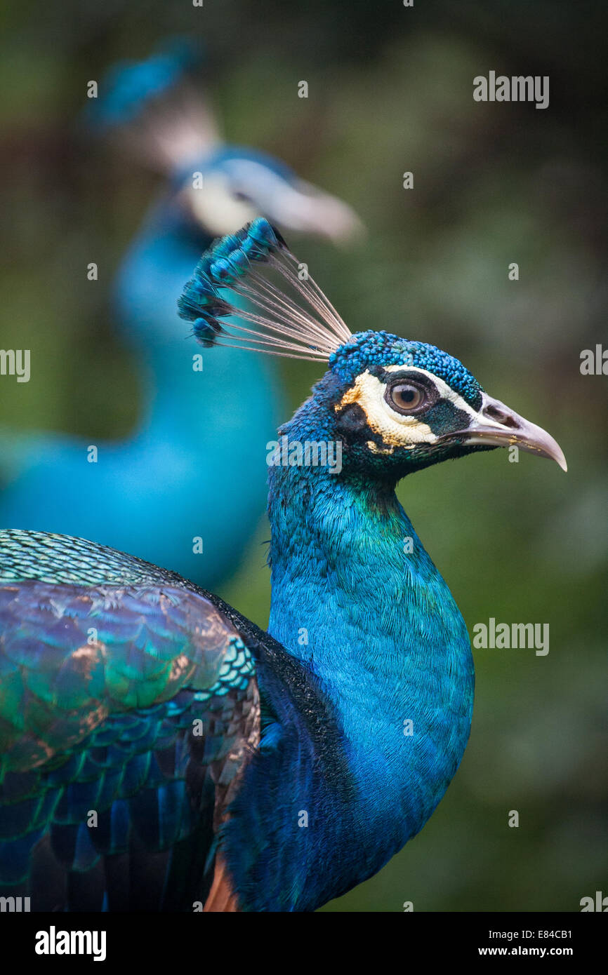 Side view if two colorful male Peafowls looking at the camera. - Stock Image